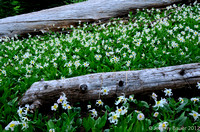 Avalanche Lilies, in the meadow.  Mt Rainier National Park