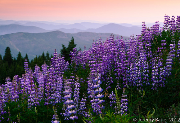 Lupin in the breeze, Mt Hood, OR
